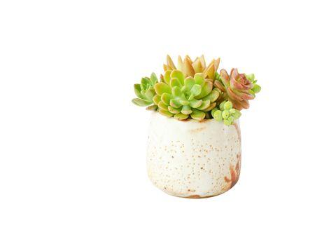 Arrangement of red green Echeveria succulents flowering houseplants in handmade ceramic pot planter white background Stock fotó