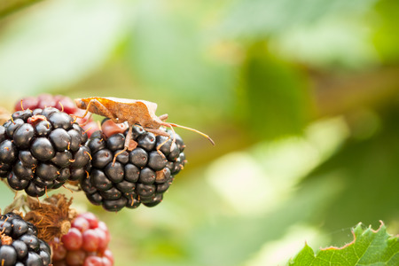 shieldbug: Brown shield bug macro image crawling on blackberry cluster Stock Photo
