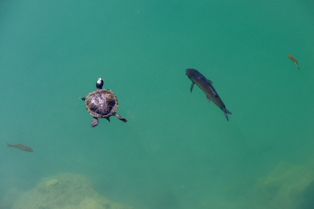 turtle and trouts swimming in companion Stock Photo