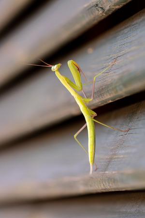 mantis on a wooden door walking up Stock Photo