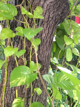 silver: Clambing plant in the garden