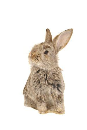 grey rabbit în a white background