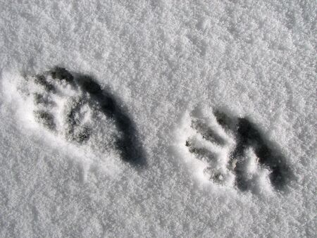 raccoon footprints in fresh snow with bright side lighting Stock Photo - 3278411