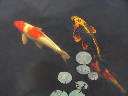 Koi goldfish swim beneath lily pads in a garden pool Banco de Imagens