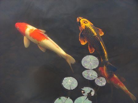 Koi poissons rouges nager sous plaquettes lis dans un jardin, piscine Banque d'images - 3278390