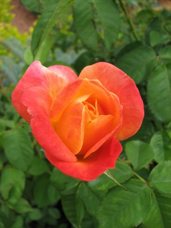 single salmon colored rose with green leaf background Stock Photo - 3278388