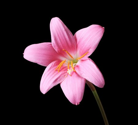 pink rain lily (Zephyranthes) flower with dark background