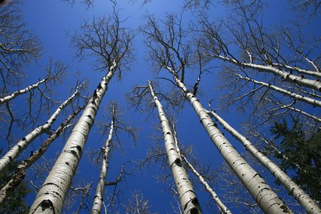 view up in aspen (Populus tremuloides) grove with bare trunks and branches against the sky Stock Photo - 3284866
