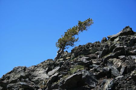 harsh: alpine pine tree above 11,000 feet on the San Francisco Peaks bent over by the wind and harsh weather