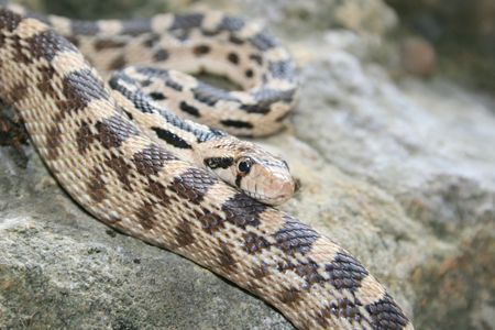 closeup of gopher snake (Pituophis catenifer) on a rock Stock Photo - 3284739