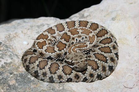 prairie rattlesnake (Crotalus viridis) coiled up on a rock Stock Photo - 3284762