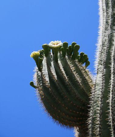 blooming saguaro (Carnegiea gigantea) cactus arm against a blue desert sky Stock Photo - 3284666