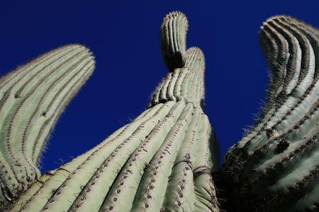 view up at a saguaro cactus (Carnegiea gigantea) against a blue sky