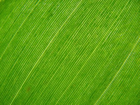 backlit macro of a green banana leaf