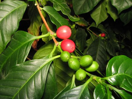 green and ripe red coffee cherries on a coffee tree branch