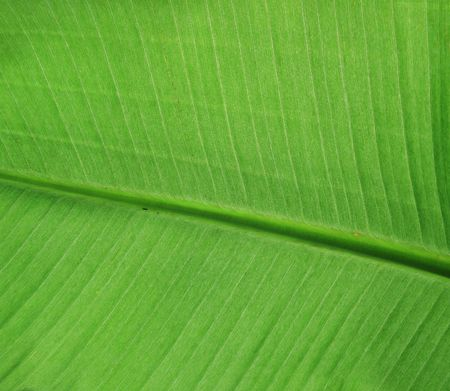 Large green banana leaf detail