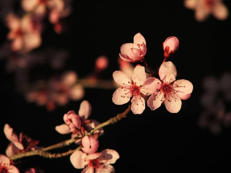 pink cherry blossoms against a black background herald spring Stock Photo - 3287162