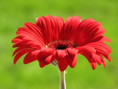close up of a single red gerber daisy with an out of focus green background Stock Photo - 3287163