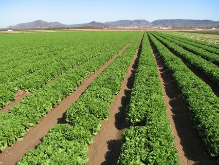 rows of lettuce extend into the distance on an Imperial Valley, California farm