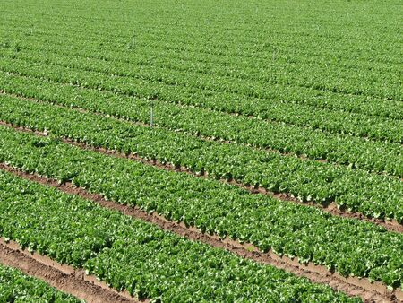 rows of irrigated lettuce on a farm in southern California Stock Photo - 3287219