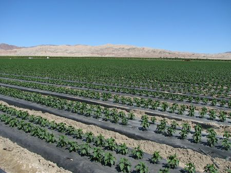 rows of pepper plants in a field in the California Desert Stock Photo - 3287203