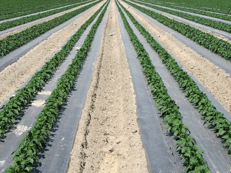 irrigated: symmetrical rows of pepper plants in a farm field