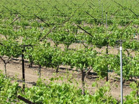 irrigated: grape vines in an irrigated vineyard in the California desert Stock Photo
