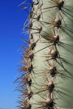Saguaro cactus (Carnegiea gigantea) edge