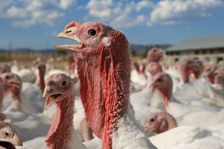 low angle view of turkey head surrounded by others in a turkey farm