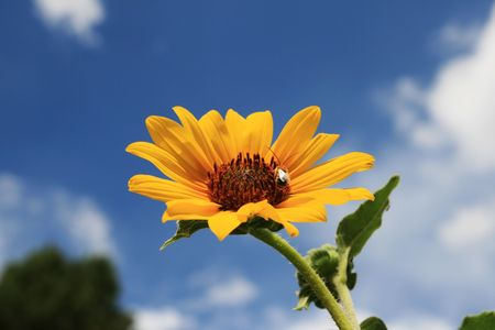 wild sunflower with a bee on it against a partly cloudy blue sky Фото со стока