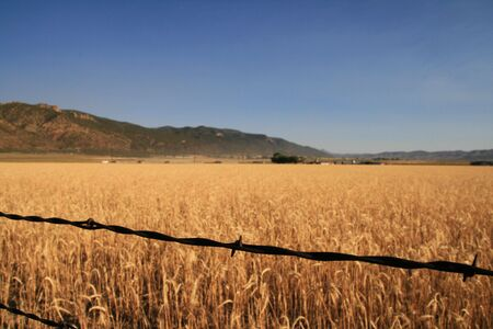 wire fence: rusted barbed wire fence strand in focus with out of focus wheat field behind it