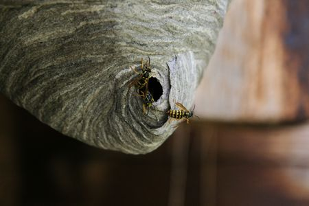 emerge: three yellowjackets emerge from their nest Stock Photo