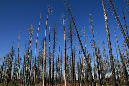burned trees against a blue sky from the Warm Fire in the North Kaibab National Forest