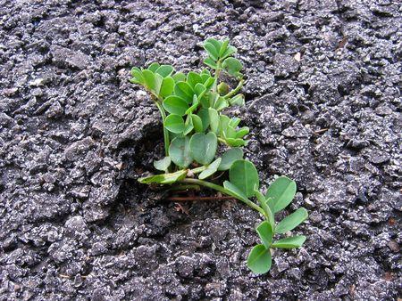 a green plant grows up through asphalt roadway photo