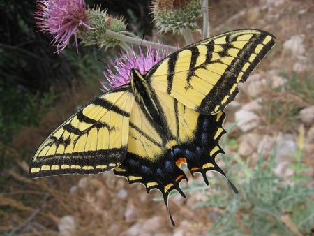 Two-tailed Swallowtail Butterfly (Papilio multicaudata) on a purple thistle flower Stock Photo - 3577871