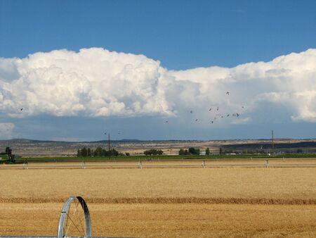 irrigated grain field during harvest with dramatic sky Stock Photo - 3578049