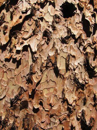 close-up of ponderosa pine (pinus ponderosa) bark showing flaky texture Stock Photo - 3577972