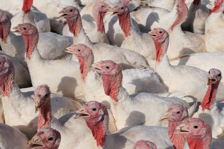 flock of domestic white tom turkeys Stock Photo