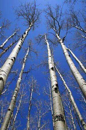 view up in aspen (Populus tremuloides) grove with bare trunks and branches against the sky Stock Photo - 3577887