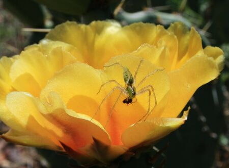 green lynx spider (Peucetia viridans) on yellow cactus flower eating a small insect Stock Photo - 3577930