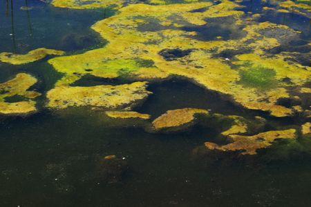 green algae mat grows on a pond surface