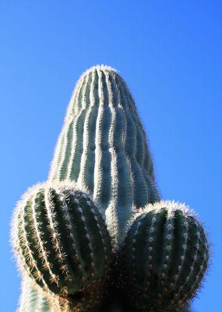 suggestive saguaro cactus (Carnegiea gigantea) penis form against a blue sky