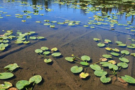 water lily pads float on a clear pond surface Stock Photo - 3587392