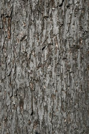 silver maple: bark on an old silver maple (acer saccharinum) trunk background Stock Photo