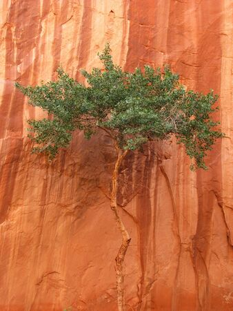 vertical image of a lone desert tree canopy against a streaked red sandstone canyon wall Stock Photo - 3596619