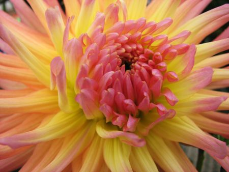 close up of yellow and pink dahlia flower Stock Photo - 3596510