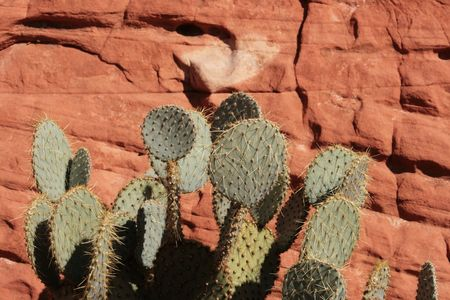 prickly pear cactus with a red sandstone background Stock Photo - 3608694