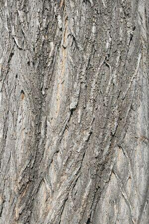 bark on an old cottonwood (populus fremontii) tree trunk Stock Photo - 3612565