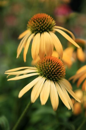 two yellow big sky echinacea coneflowers with shallow depth of field and green Stock Photo - 3615554