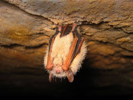 dewed: face of eastern pipistrelle (Pipistrellus subflavus) bat sleeping in a cave Stock Photo